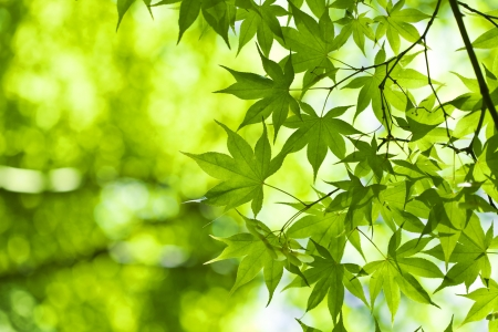 Fresh green leaves in the spring. Stock Photo - 21085859
