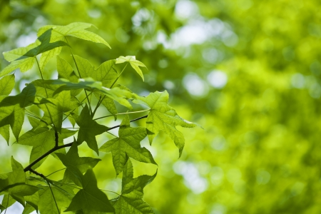 Fresh green leaves of maple Stock Photo - 21085860