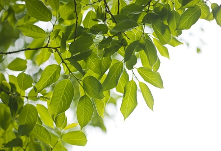 Fresh green leaves in the spring. Stock Photo - 21085861