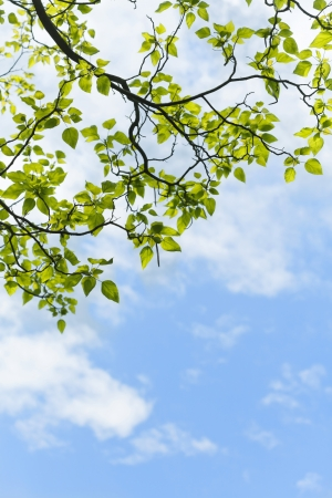Fresh green leaves in the spring against blue sky. Stock Photo - 21085862