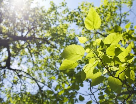 Fresh green leaves in the spring. Stock Photo - 21085865