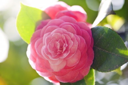 Beautiful pink flower of japanese camellia Stock Photo - 21085867