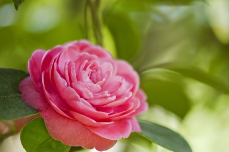 Beautiful pink flower of japanese camellia Stock Photo - 21085868