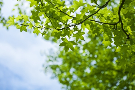 Japanese maple green leaves and sky background Stock Photo - 21085869