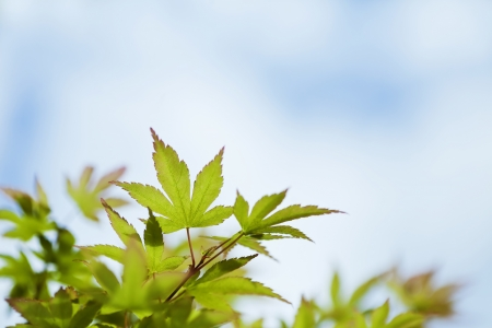 Japanese maple green leaves and sky background photo