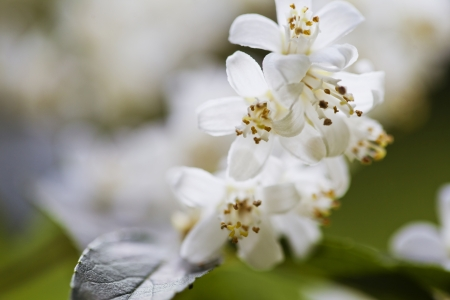 Beautiful fresh jasmine flowers in the garden, macro photography Stock Photo - 21085874