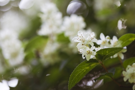 Beautiful fresh jasmine flowers in the garden, macro photography Stock Photo - 21085875