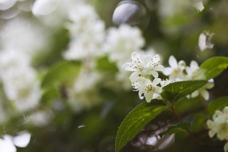 Beautiful fresh jasmine flowers in the garden, macro photography Stock Photo - 21085875