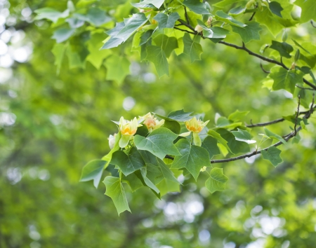 Blooming tulip tree in spring Stock Photo - 21085930