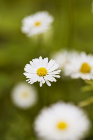 Chamomile flowers in meadow  Shallow depth of field Stock Photo - 21085931