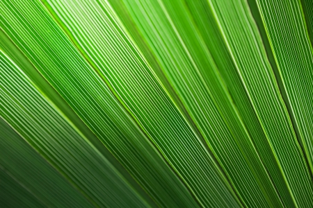 Green palm leaf texture for background. Stock Photo - 21702835