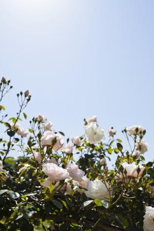 Pink roses against blue sky Stock Photo - 21702838