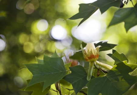 asian tulips: Blooming tulip tree in spring