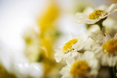 Camomile macro photography on blurred background photo