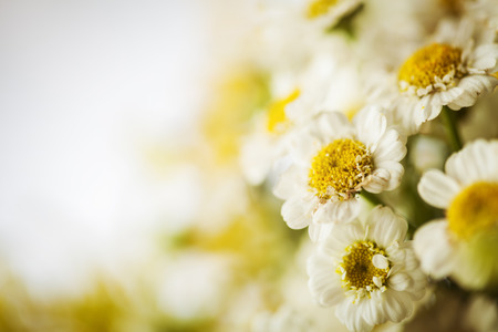 herbal background: Camomile macro photography on blurred background