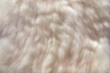 sheepskin: a wool background, closeup of a sheepskin