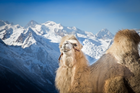 camel standing high in the mountains of Caucasus, Russia