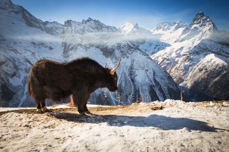 big yak high in winter mountains near ski resort Stock Photo