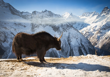 big yak standing high in winter mountains