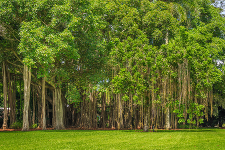 large tree: Beautiful Banyan tree and green lawn