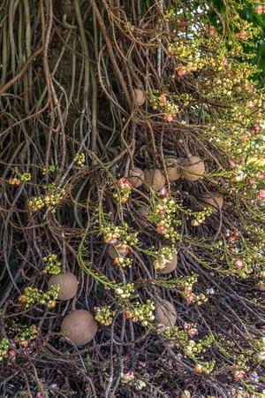 cannonball: Cannonball tree. Couroupita guianensis.