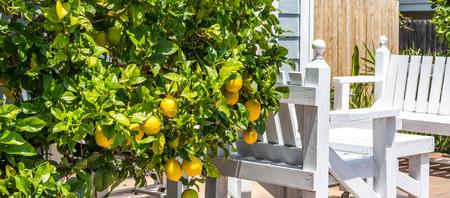 colorful tree: Ripe lemons hanging on a tree