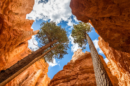 Pine trees in Bryce canyon, USA Banco de Imagens