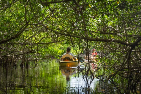 EVERGLADES, FLORIDA, USA - AUGUST 31: Tourist kayaking in mangro Publikacyjne