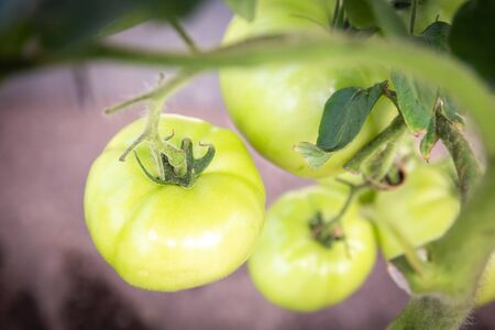 tomato growing in organic farm. Ripe natural tomatoes growing on a branch in greenhouse Stockfoto - 128617234