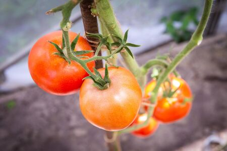 tomato growing in organic farm. Ripe natural tomatoes growing on a branch in greenhouse