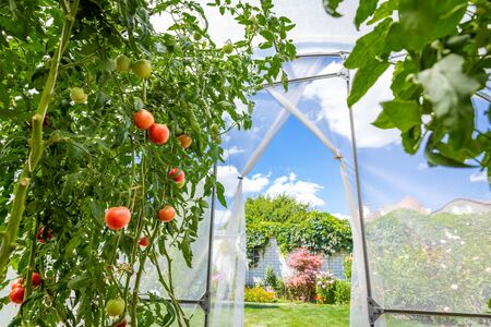 View from inside small private greenhouse with tomatoes in garden