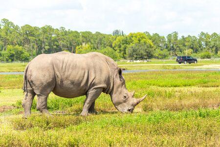 White rhino, rhinoceros walking on green grass