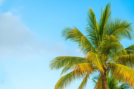 Yellow coconut palm on the blue sky background Banco de Imagens