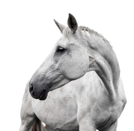 gelding: White horse on white background