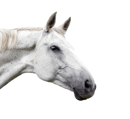 White horse on white background