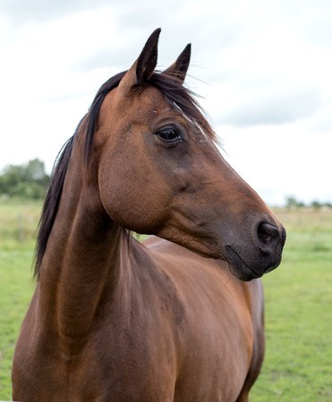 Een portret van een baai paard