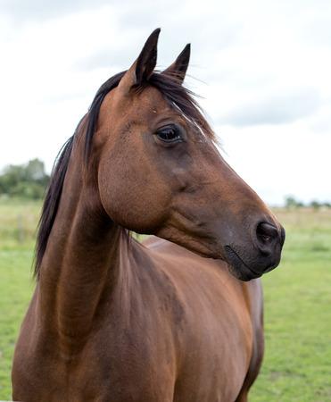 Un portrait d & # 39 ; un cheval de baie Banque d'images - 85546778