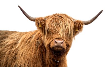 孤立した白い背景にスコットランドの高地牛
