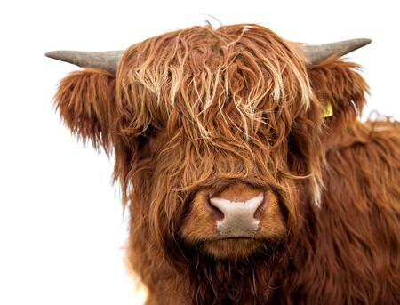 Vaca escocesa em fundo branco isolado Foto de archivo
