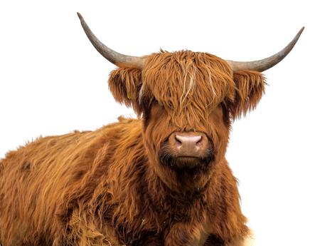 白い背景にスコットランドの牛が隔離