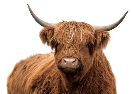 Schottisches Hochlandvieh auf einem weißen Hintergrund lokalisiert