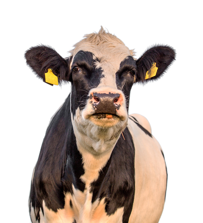 black and white cow  isolated on white