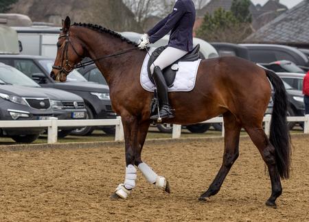 bay horse in a sport tournament Фото со стока