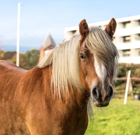 Norwegian Fjord Horse Stockfoto