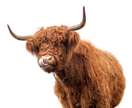 Schottische Kuh auf weißem Hintergrund isoliert