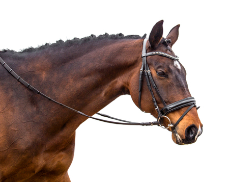 A portrait of a bay horse isolated