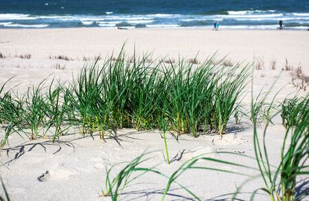 grass on the dunes. Sylt Island Stock Photo