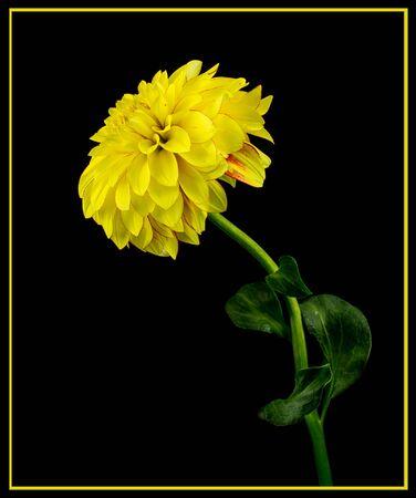 yellow dahlia on a black background Stock Photo
