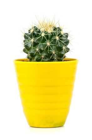 cactus in a yellow pot on a white background