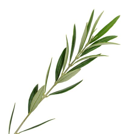 olive branch on a white background